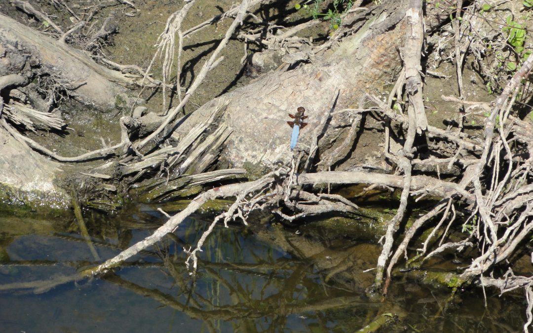 Am renaturierten Messlingbach nimmt die Artenvielfalt zu